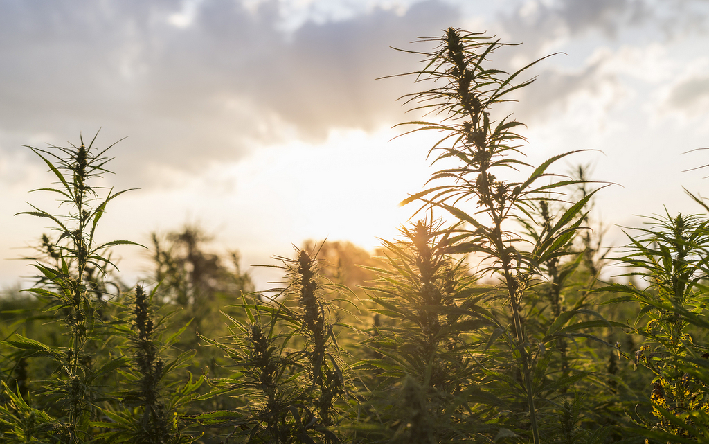 healthy weed