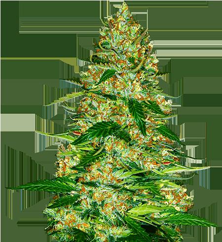 Northern-Lights-Autoflower-Marijuana-Strains