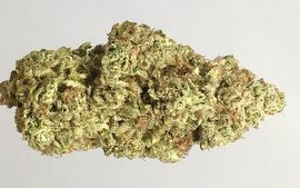 Harlequin medical marijuana strain