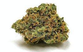 sour diesel sativa weed strain