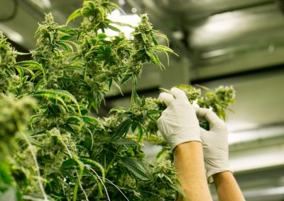 Cannabis Growing Tips For Beginners In Areas Where It's Legal