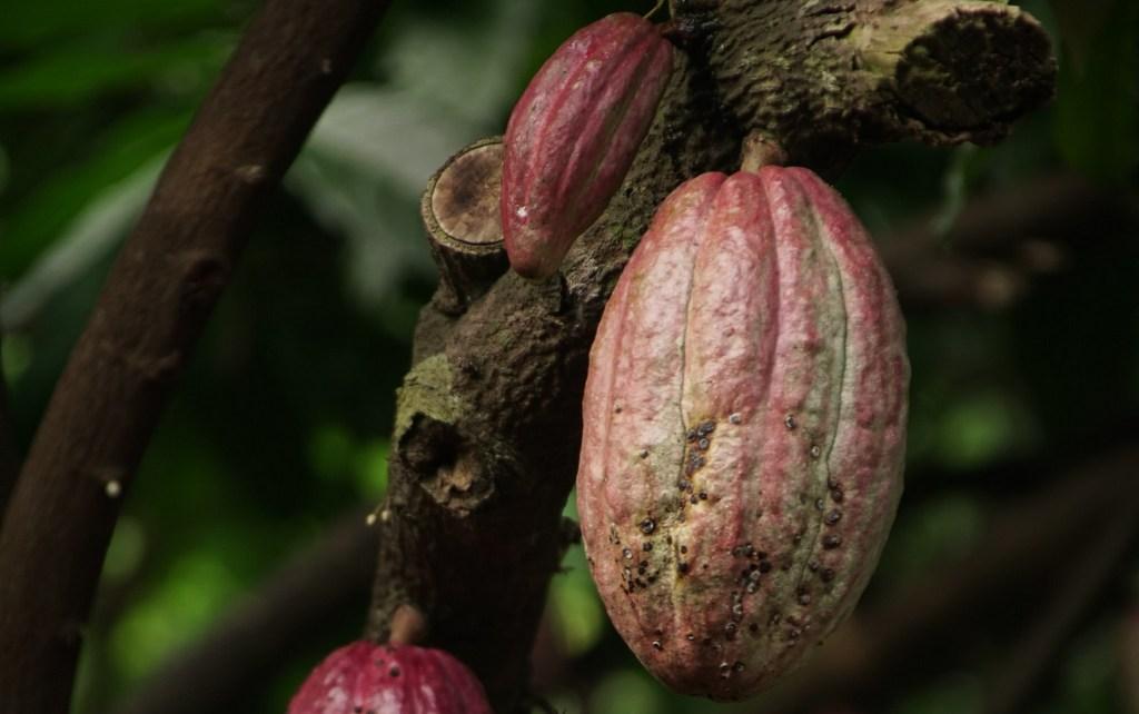 Cocoa for CBD Chocolate