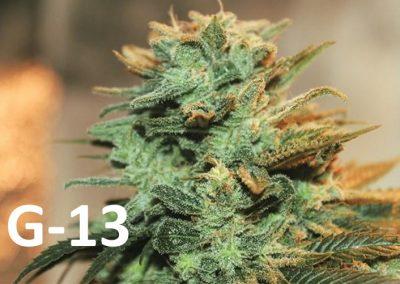 G13, G-13, Government 13 or G Thirteen Marijuana Strain | All Information!